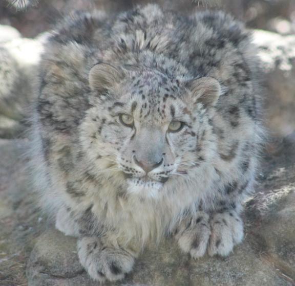 March 2015, Rosamund Gifford Zoo, Syracuse NY 1-year-old snow leopard